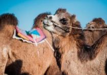 В Астраханской области верблюды разгромили три села и нападают на людей