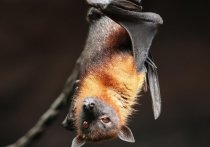 Специалисты Роспотребнадзора нашли коронавирус у летучих мышей
