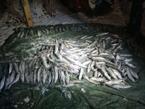 В Бурятии полицейские изъяли 100 килограммов нерестового омуля