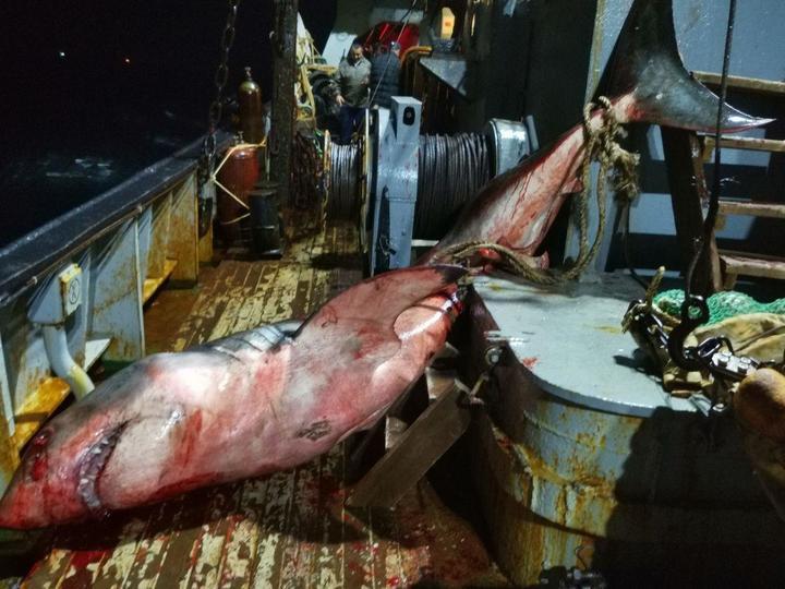 Рыбаки возле Сахалина выловили огромную жуткую акулу-людоеда