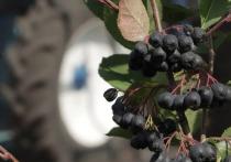 Тамбовский фермер выращивает черноплодную рябину в промышленном масштабе