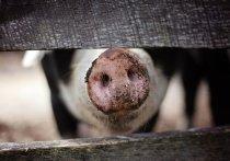 Свинья загрызла откармливавшего ее на убой хозяина