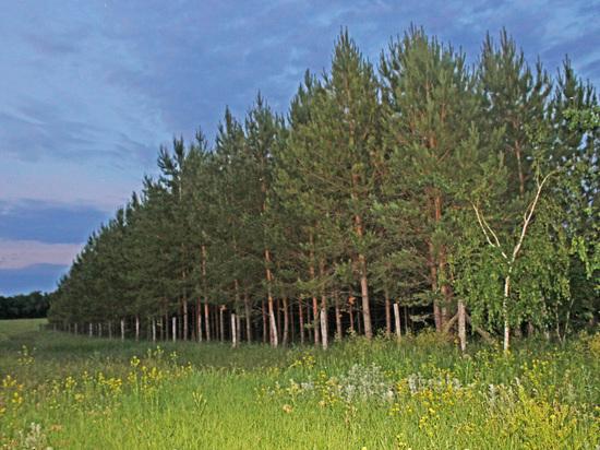 Волгоградец высадил сосновый бор в память о 120 чернобыльцах