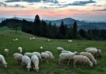 Предположение о том, что ученые имеют дело с останками древних домашних овец, возникло сразу, как только они обнаружили зубы
