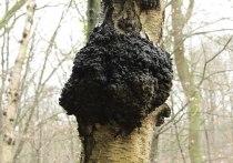 Березовый гриб чага нельзя использовать в качестве основного вида лечения коронавирусной инфекции