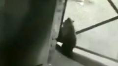 Приключения медвежонка на российском заводе сняли на видео