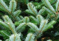 В Тверскую область начали ввоз рождественских деревьев