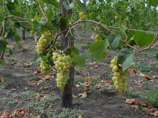 В ноябре на Ставрополье высадят 160 га новых виноградников