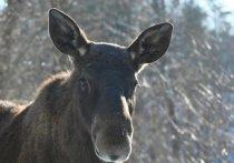 По данным полиции, несколько дней назад в лесу возле села Новохмелевка Кытмановского района, мужчина застрелил самку лося