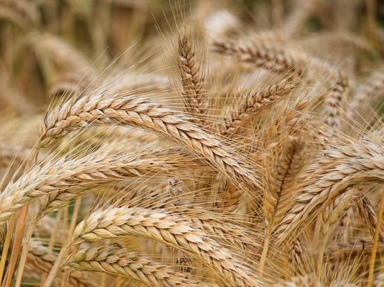 Псковские аграрии впервые экспортировали 10 тысяч тонн пшеницы