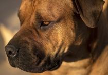 Пятилетнего южноафриканского бурбуля усыпили сотрудники зоогостиницы в Подмосковье после того, как пес напал на двух сотрудников