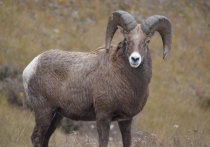 Участников нелегальной охоты на краснокнижных горных баранов задержали сотрудники ФСБ на Алтае