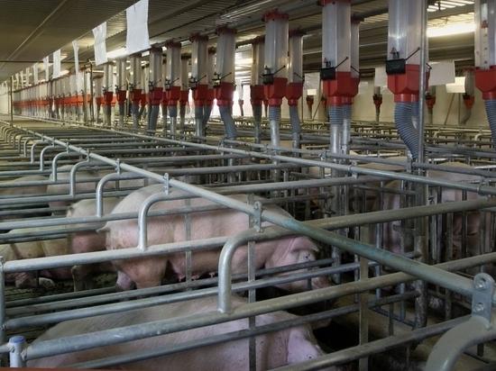 В Вельском районе зафиксирован очаг африканской чумы свиней
