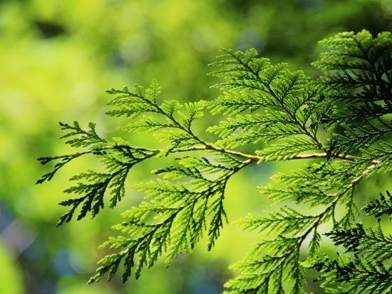 Укравший туи возле храма пскович виновен в похищении еще 32 деревьев