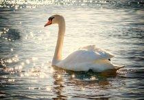 """Поведению лебедей-шипунов искренне удивились сотрудники национального парка """"Лосиный остров"""", которые обнаружили целую стаю из 30 грациозных птиц на Яузских болотах"""