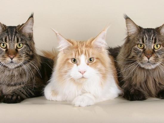 Кошек назвали бессимптомными переносчиками коронавируса