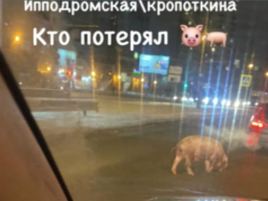 По улицам Новосибирска бегал испуганный поросенок