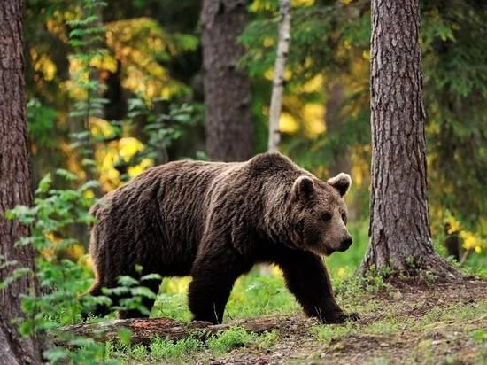 Костромские медведи могут спать спокойно — сезон охоты на них завершается 30 ноября