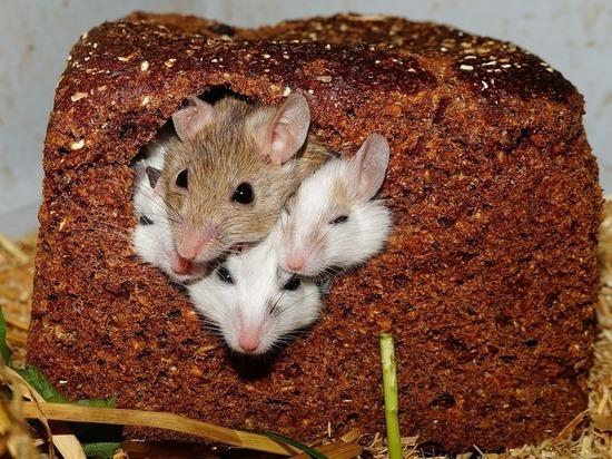 Новосибирец выхаживает шестерых новорожденных мышат