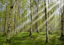 Оценивать загрязненность воздуха с помощью …листьев березы предложили ученые из Уфимского государственного авиационного технического университета