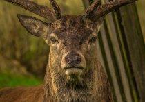 Необычный случай произошел в южной Чехии: по сообщениям полиции, в одном из местных лесов сейчас разгуливает олень, вооруженный охотничьим ружьем