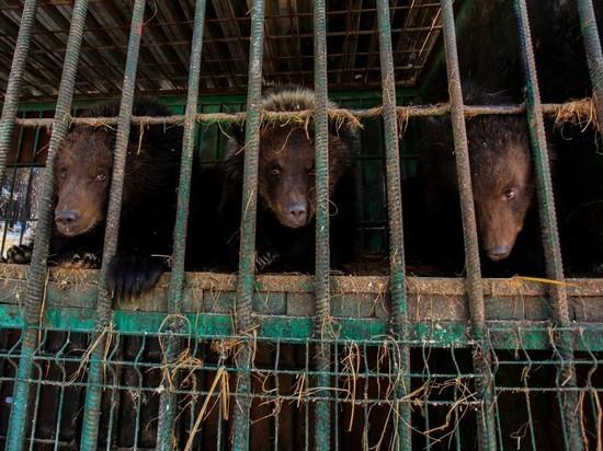 "Берлоги для артистов: корреспондент ""МК Байкал"" помогал медведям"