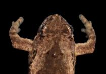 Новый вид узкоротых квакш обнаружили герпетологи из МГУ им
