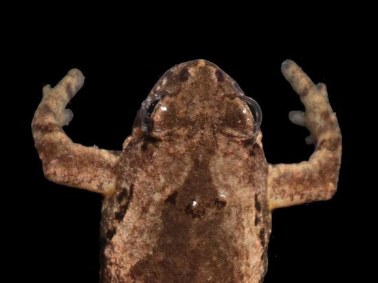 Найдена лягушка с голосом кузнечика и длинным средним пальцем