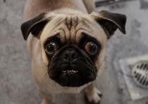 Заводчица подала в суд на хозяйку мопса из-за непроданных щенков