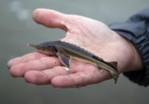 Летом и осенью «Башнефть», входящая в структуру «Роснефти», обогатила водоемы Башкирии, Ненецкого и Ханты-Мансийского автономных округов на 1,2 млн мальков ценных видов рыб