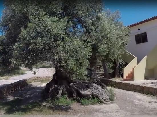 На Крите продолжает плодоносить оливковое дерево, выросшее до нашей эры