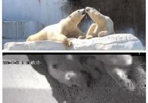 У новосибирских белых медведей в Японии родились внуки