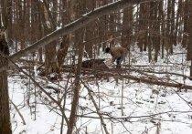 Жителя Удмуртии задержали за незаконную охоту на лося
