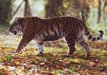Тигры загрызли домашних животных в двух сёлах Хабаровского края