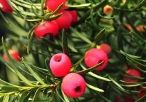 Одно из старейших деревьев Британии сменило пол
