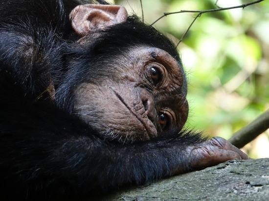 В Африке рейнджер спас детеныша шимпанзе от гибели