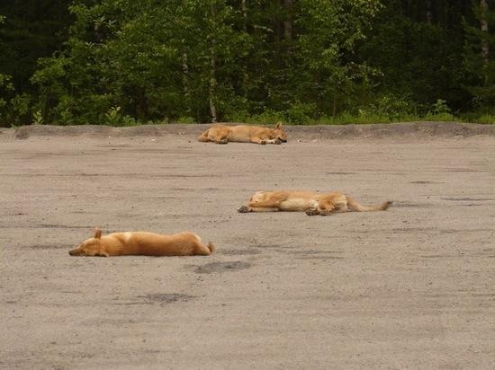 В Сегеже стерилизуют 70 бродячих собак