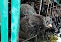 В Смоленской области дикая кабаниха водит дружбу с домашней свиньей