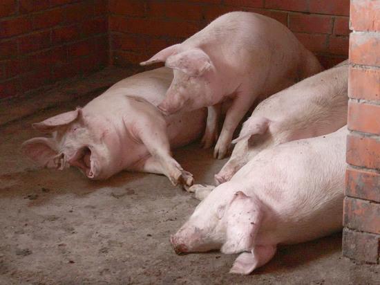 Под Омском свиней кормили остатками пищи из коронавирусной больницы