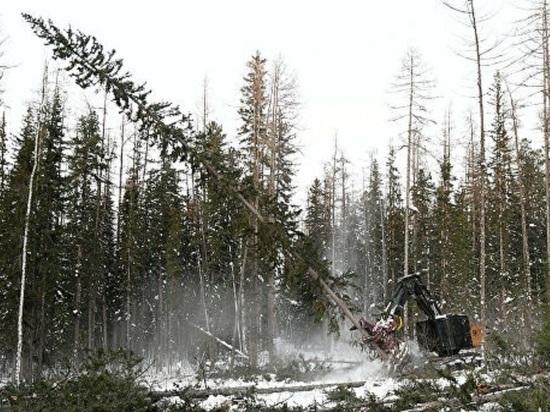 На сегодняшний день известно о том, на что территории урочища вырублено около 15% деревьев