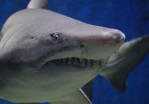 В городе Марса-эль-Алам в Египте длиннокрылая акула, которая вырастает до четырех метров в длину и считается самым опасным видом акул в мире, набросилась на туристку из Германии и изувечила ее
