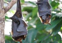 Летучие мыши на юге и юго-западе Китая являются носителями других коронавирусов, которые могут передаваться и людям