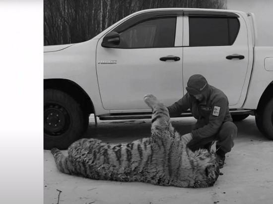 Водитель сбил насмерть кранокнижную амурскую тигрицу