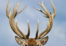 ПОРА предлагает защитить дикого северного оленя