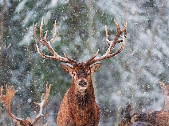 По инициативе ПОРА защиту дикого северного оленя могут внести в состав нацпроекта