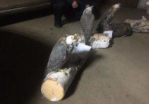 В Бурятии сотрудники угрозыска пресекли добычу краснокнижных птиц