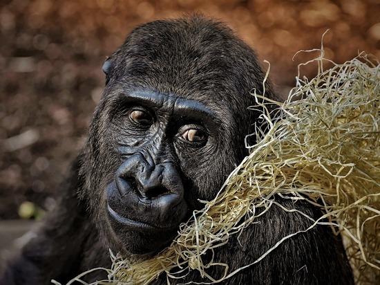 Горные гориллы оказались под угрозой вымирания из-за Covid-19