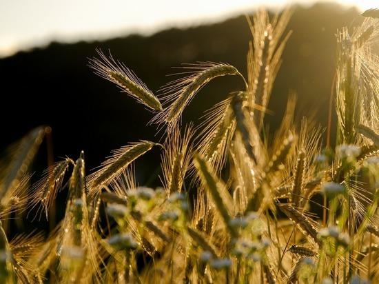 Как Алтайский край может помочь России сохранить лидерство в мировом экспорте зерна