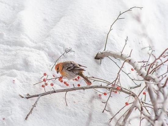 Необычно яркие птицы прилетели на зимовку в Новосибирск