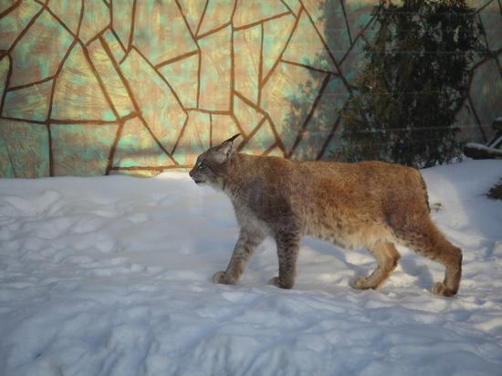 Новый вольер построили для рысей в нижегородском «Лимпопо»